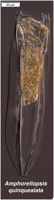 Amphorellopsis quinquealata from the Admunsen Sea (Antarctica)