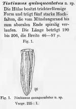 Amphorellopsis quinquealata was orignially described as Tintinnus quinquealata by Laackmann in 1907.