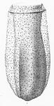Described by Brandt (1906-1907) as Tintinnus palliata, now known as Brandtiella palliata