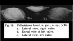 Pellucistoma howei Coryell & Fields, 1937 from original description