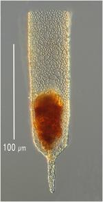Poroecus apliculatus