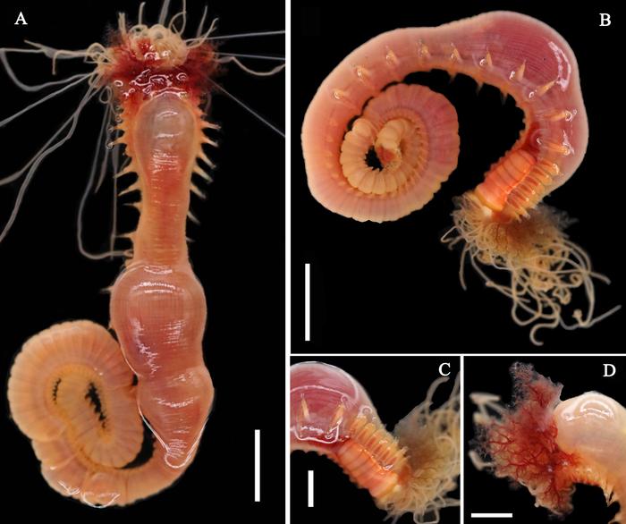 Loimia borealis Wang, Sui, Qi & Li, 2020; original figure: fig. 1 A-D