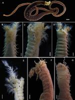 Loimia macrobranchia Wang, Sui, Qi & Li, 2020; original figure: fig. 6 A-G
