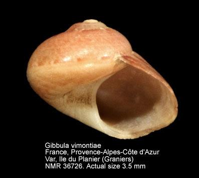 Gibbula vimontiae