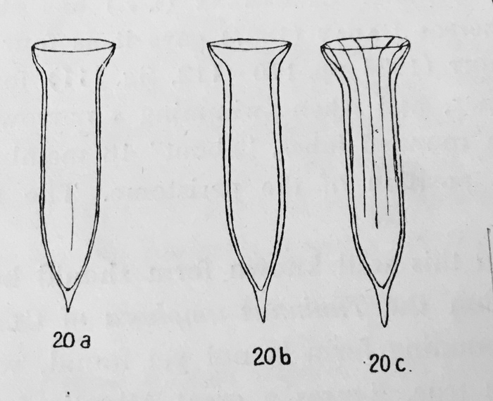 Dadayiella pachytoecus was orginally described by Jörgensen (1924) as Amphorella pachytoecus