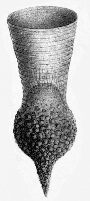 Codonellopsis orthoceras was originally described by Haeckel (1873) as Condonella orthoceras