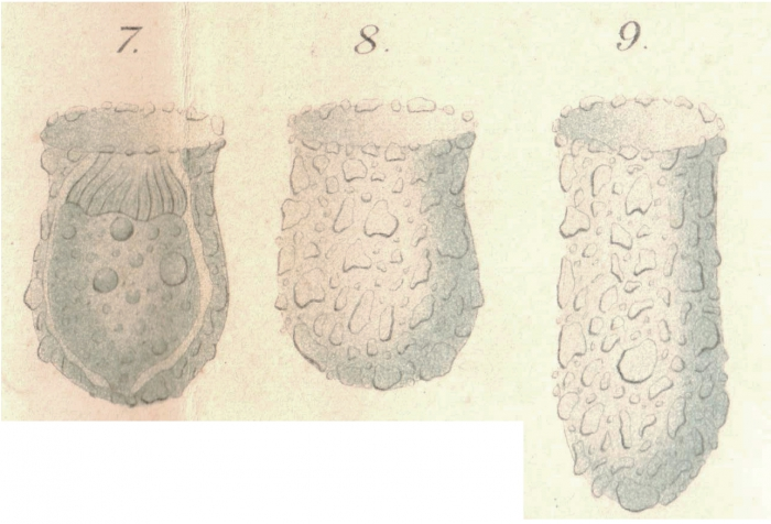 From the original description of Tintinnopsis compressa as a variety of T. beroidea