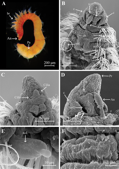 Aricidea (Aricidea) thammapinanae Plathong, Hernández-Alcántara, Harris & Plathong, 2020; original figure: Fig. 6