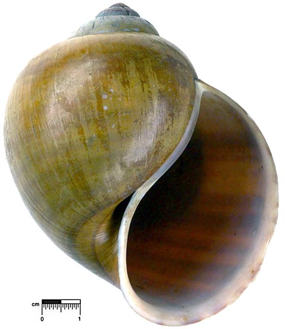 Ampullaria eximia lectotype ZMB 111.744