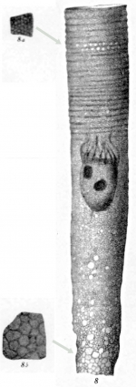 Climacocylis sipho originally described as Cyttarocylis sipho in Brandt 1906