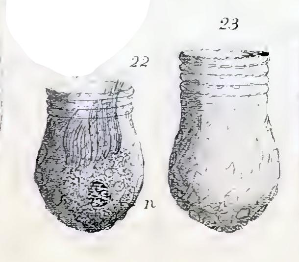 Illustration of Codonellopsis bulbulus described as Tintinnopsis bulbulus by Meunier (1919)