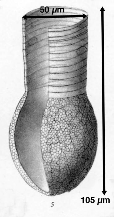 Codonellopsis ecaudata described as Codonella ecaudata by Brandt (1906)