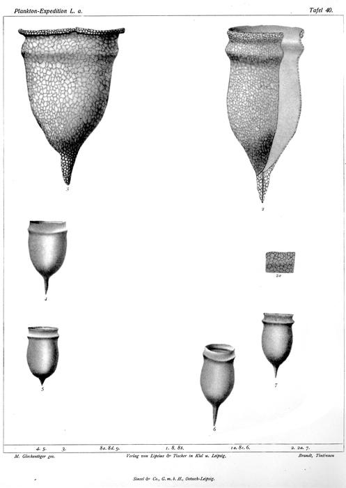 Brandt's illustrations of Cyttarocylis arcuata now known as Schmidigerella arcuata