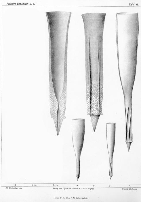 Xystonellopsis armata originally described as Undella armata by Brandt (1906)