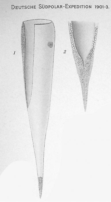 Xystonellopsis brandti was originally described as Undella tenuirostris var. brandti by Laackmann (1910)