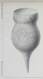 Codonella amphorella Biedermann 1893