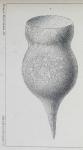 Codonella amphorella Biedermann 1893