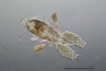 Corycaeus speciosus female