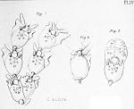 Claviporella aurita