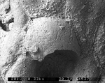 Cellarinidra clavata