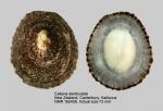 Cellana denticulata
