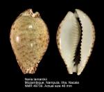 Naria lamarckii