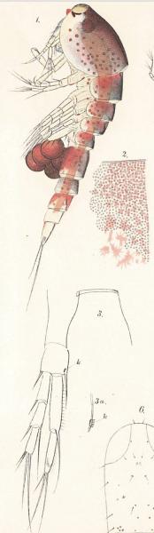 Miracia efferata Mrazek 1895