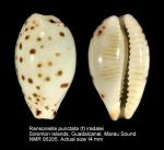 Ransoniella punctata