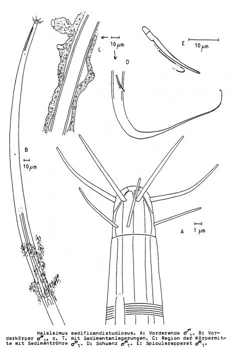 Halalaimus aedificandistudiosus Bussau, 1993