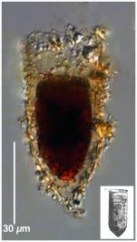 Tintinnopsis tubulosoides