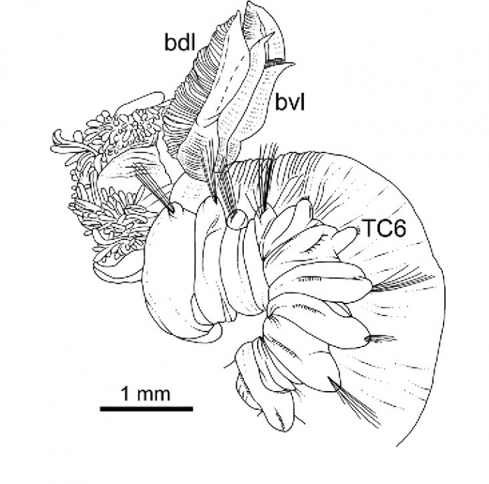 Terebellides ronningae Parapar, Capa, Nygren & Moreira, 2020; original figure: fig. 19B