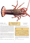 Eastern Rock Lobster