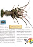 Scalloped Rock Lobster