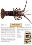Banded Rock Lobster