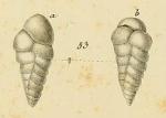 Bulimina polystropha Reuss, 1846