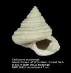 Calliostoma occidentale