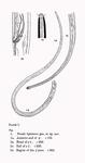 Halalaimus leptosoma (Southern, 1914) Schuurmans Stekhoven, 1935