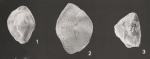 Lachlanella bicornis (Walker & Jacob, 1798) sensu Haynes, 1973 NOT Walker & Jacob, 1798