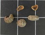 Ischnochiton versicolor