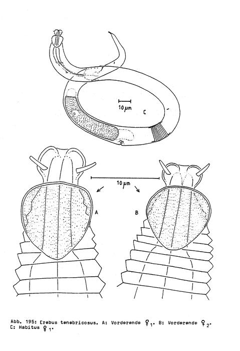 Erebus tenebricosus Bussau, 1993