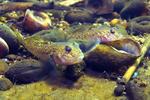 Round goby - Neogobius melanostomus