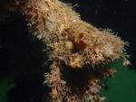 Styela clavata overgrown with Tricellaria inopinata