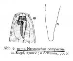 Gomphionema compactum (Gerlach, 1957)