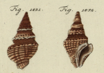 "Clavatula coronata Lamarck, 1801, original figure of ""Murex Turris coronata"" in Chemnitz (1795, pl. 190, fig. 1831-1832) on which the species is based"
