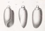 Tornatina protracta Dautzenberg, 1889, original figure