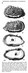 Agrenocythere spinosa Benson, 1972 from the original description