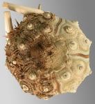Acanthocidaris hastigera (aboral)