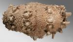 Echinophyces mirabilis affecting host phenotype
