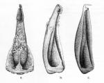 Cidaridae (pedicellariae)