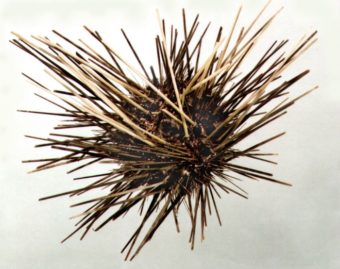 Diadema antillarum (aboral)